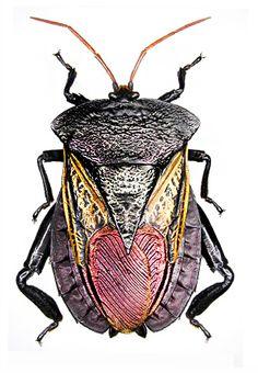 Oncomeris chrysoptera