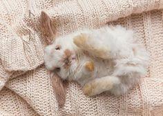 Laying Bunny