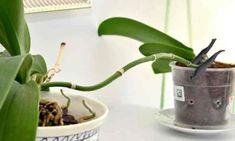 Daca iti plac orhideele, insa renunti la ele pentru ca nu stii cum si le ingrijesti sau crezi ca nu ai suficiente resurse financiare pentru a-ti decora interiorul cu aceste flori, venim sa-ti prezentam o metoda perfecta de a trasforma o singura orhidee in zeci de astfel de flori. Visezi ca pe pervazul tau sa vezi o adevarta galerie de flori? Pentru a obtine aceasta minunatie nu ai nevoie de o suma enorma de bani. Cum stimulezi cresterea radacinilor Dintr-o singura orhidee poti obtine zeci de… Watering Can, Flower Arrangements, Canning, Christmas Ornaments, Plant, Life, Floral Arrangements, Home Canning, Conservation