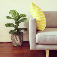 Scandinavian style grey couch, jarrah floorboards and a fiddle leaf fig.