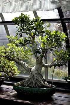 Bonsai de uma árvore de Ficus.