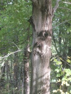 Peering Tree face from -Global Swarming Honeybees: When Trees Have Faces. Weird Trees, Spooky Trees, Scary Places, Strange Places, John Muir, Fairy Tale Forest, Enchanted Tree, Tree People, Tree Faces