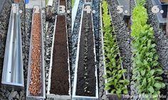 Salatzucht in der Dachrinne