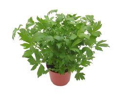 Maggiplant.png (4000×3567)