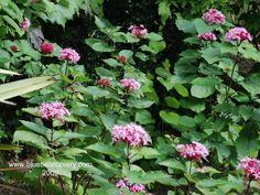 BlueBell Nursery - BlueBell Nursery - Trees & Shrubs - Clerodendrum - Clerodendrum bungei