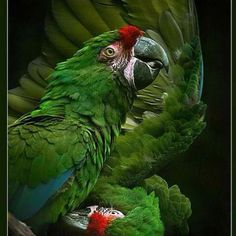 Gorgeous green parrot