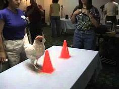 Chicken Training (yes, real chickens)