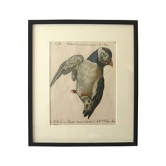 "A black and white etching print of a puffin (""Alca Indiana"") by the artist Saverio Manetti.  