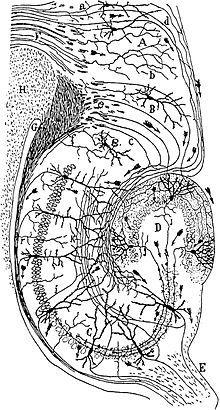 Hippocampus – Abbildung 2: Zeichnung der neuronalen Verbindungen eines Nagetier-Hippocampus von Santiago Ramon y Cajal (1911)