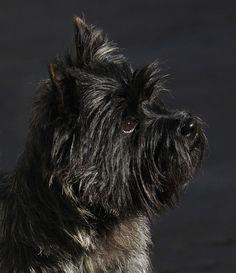 Pelle - Wilmavohnne Cairn Terriers