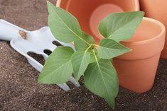 Flieder lässt sich optimal mit Stecklingen vermehren. Dandelion, Nature, Plants, Gardening, Garden Plants, Lilac Bushes, Flowers, Heaven, Nursing Care