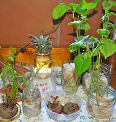 Windowsill garden - a lot of these are grown with kitchen scraps.