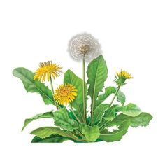 Often considered a pesky weed, dandelion (Taraxacum officinale) is of great value to herbalists throughout the world. Besides its traditional use to support liver function, the roasted taproot is ground and enjoyed as a coffee substitute. Dandelion Root Tea, Dandelion Flower, Tattoo Dandelion, Tee Illustration, Botanical Illustration, Healing Herbs, Medicinal Herbs, Taraxacum Officinale, Leaf Art