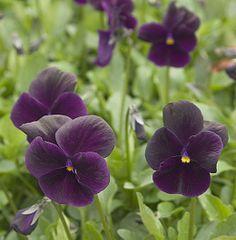 Violetta 'Raven'