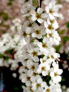 Mt. Fuji Spirea an early spring flowering shrub. Mature size of around 4', Attracts butterflies and is deer resistant.