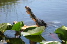 Hungry alligator in Everglades National Park,Florida.