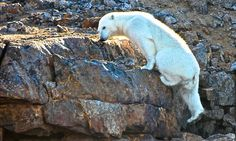 Polar bear spotted ROCK CLIMBING in the Arctic in balmy weather