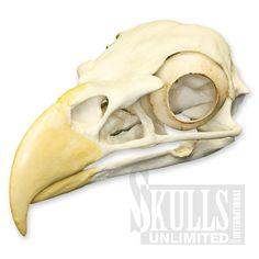 $136 Bald Eagle Skull (Bone Clones)