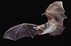 Greater mouse-eared bats (Myotis myotis) locate insects in the grass by the noise they make while crawling. All Animals Photos, List Of Animals, Animals And Pets, Animal Pictures, Baby Animals, Cute Animals, Bat Species, Bat Flying, Sloth Bear