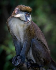 Schmidt's Red-tailed Monkey (Cercopithecus ascanius) at the San Diego Zoo.