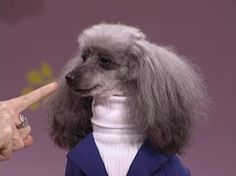 Nothing more Classy then poodles in turtlenecks. Sign me up