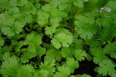 How To Use Herbs As Companion Plants