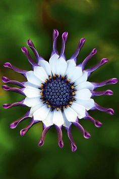 Daisy, the perfect flower mandala! A hardy, spreading annual with daisy-like flowers. Unusual Flowers, Rare Flowers, Amazing Flowers, Purple Flowers, Beautiful Flowers, Daisy Flowers, Daisy Daisy, Simply Beautiful, Purple Daisy
