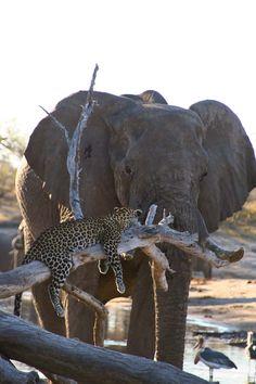 Слон и леопард