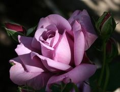 List of Rose Varieties – Hybrid Tea Roses Lavender Roses, Blush Roses, Silver Roses, Purple Flowers, Red Roses, Lilac Color, Lavender Color, Lavender Varieties, Rose Varieties