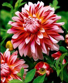 Dalie Caribbean Fantasy - #fiori e #giardinaggio - #bakker
