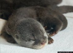 Adorable baby otter slide show