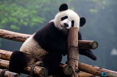 How to Volunteer with Pandas in Chengdu, Panda Volunteer Program Niedlicher Panda, Cute Panda, Panda Bears, Panda China, Taipei, Wolverine Xmen, Motor Ford, Panda Lindo, Animals