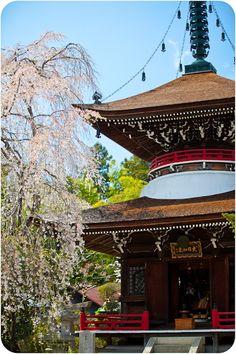 Japanese shrine #cherry blossoms #travel #countries #home