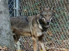 Photo credit: USFWS Red Wolf Recovery Program