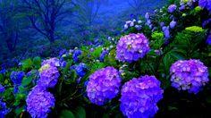 Hydrangea (Hydrangeaceae) is more known under its popular name of hortensia. It … - Modern Hortensia Hydrangea, Hydrangea Garden, Hydrangea Flower, Succulents Garden, Garden Plants, Purple Hydrangeas, Tulips Flowers, Hydrangea Wallpaper, Flower Desktop Wallpaper
