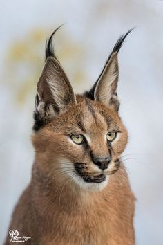 """The caracal is a medium sized cat which it spread in West Asia, South Asia, and Africa. The word Caracal is from Turkey """"Karakulak"""" which means """"Black Ears"""". Here is all about caracal as a pet. Caracal Caracal, Baby Caracal, Serval Cats, Rare Animals, Jungle Animals, Animals And Pets, Funny Animals, Wild Animals, Big Cats"""