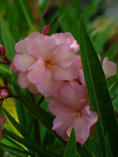 Mrs. George Roeding Oleander (Double Apricot),Nerium oleander 'Mrs. George Roeding' - Almost Eden