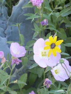 Mexican Evening Primrose and Chocolate Flower-Desert Botanical Garden