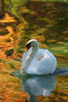 Swan In Autumn Lake by Louise Docker Beautiful Swan, Beautiful Birds, Swans, Swan Pictures, Quilt Modernen, Autumn Lake, Swan Song, White Swan, Tier Fotos