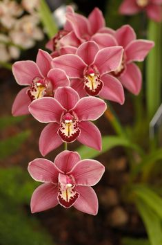 I have these exact orchids in a pot in my yard. the plant is 30 yrs old :)Cymbidium Orchid