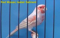 Red Mosaic Isabel Satinent Canary