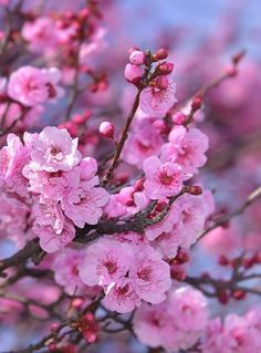Gambar Bunga Sakura Pink Merah Muda Beautiful Flower Cherry