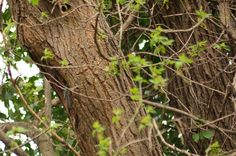 wald°sinnen: Wald°Vögel {2} oder Ein Tag in einer alten Esche Alter, Trunks, Nature, Plants, Woodland Forest, Mornings, Nurseries, Stems, Naturaleza