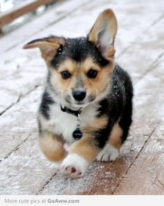 Little corgi. I just met a corgi and pit bull mix. SO CUTE! Big strong head on short little legs. Baby Animals, Funny Animals, Cute Animals, Pet Dogs, Dog Cat, Pets, Pet Pet, Weiner Dogs, Cute Puppies