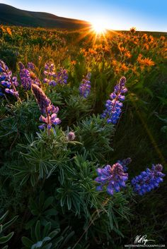 Lupine Sunrise - I went out to Dalles Mountain Ranch with my friend Michael Bollino to shoot sunrise - while the clouds were no where to be seen, the sunrise was still quite fantastic! The lupine and balsamroot were fabulous. They are still a good week or two away from peak; however, I think there are a ton of great compositions to be had this week up there. This was my first time going there and I was in heaven! This was a tough shot to execute and process due to the harsh light and the…