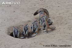 Learn more about the South African ground squirrel - with amazing South African ground squirrel videos, photos and facts on Arkive Squirrel Video, Ground Squirrel, Animal Alphabet, African, Squirrels, Wildlife, Facts, Closure, Videos