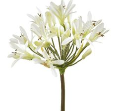 Agapanthus white  // Available January to December