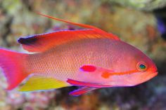 lyretail anthias | All Lyretails on sale for $18.99 all Sizes!!!! Happy 4th!!! Offer good ...