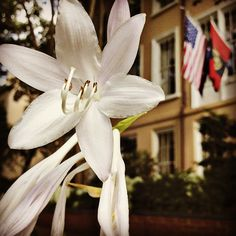 Hosta bloom in front of the UofSC President's Houses.