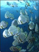 Scuba dive in the Maldives